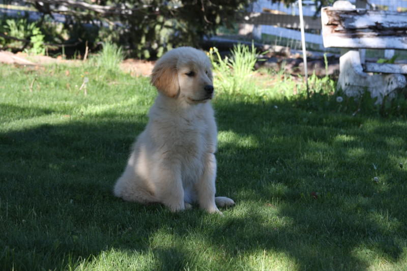 Golden Retriever puppies for sale in western Montana