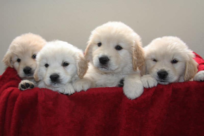 Golden Retriever puppies for sale in western Montana